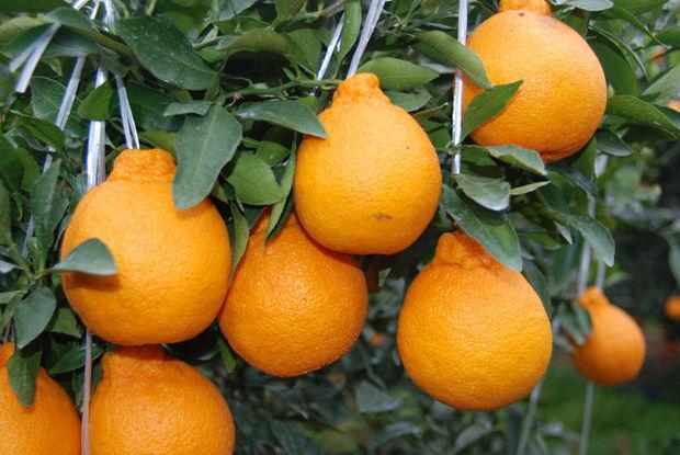 Nadir sitrus bitkisi Azərbaycanda da yetişdirilir