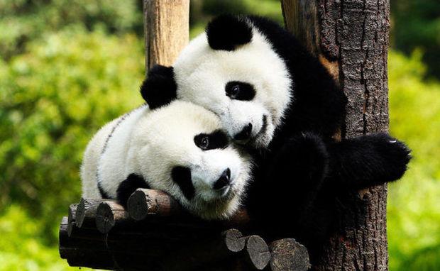 Pandaların ağac uğrunda davası